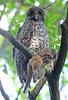 Powerful Owl (christinaportphotography) Tags: wild bird birds focus dof sydney free australia owl prey claws clutching possom powerfulowl ninoxstrenua lanecovenp ringtailedpossom