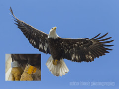 Banded Juvenile Bald Eagle over the NJ shore (Mike Black photography) Tags: new sky white black bird mike nature canon lens photography is big eagle body year birding bald nj raptor shore jersey l usm f56 eaglet talons banded 800mm 5ds 1dx