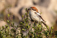 Woodchat shrike (Dave 5533) Tags: woodchatshrike songbird nature wild canon400mmf56 canon7dmk2 animal bird naturephotography inexplore wildlife