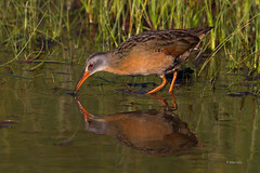 Virginia Rail (Mike Veltri) Tags: wild ontario canada birds canon avian naturephotography 600mm mikeveltri
