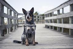 Ponton (Bodow) Tags: dog chien 50mm pentax bokeh australian australien jaimie australiancattledog plage ricoh bouvier bouvieraustralien smcda50mmf18