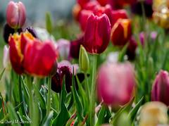 CMJ_2990 (cmj_rnrgrl) Tags: flower lensbaby virginia tulips farms haymarket burnside lensbabysweet56