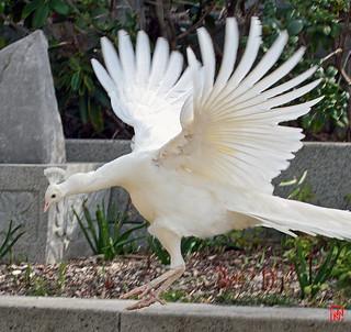 Un atterrissage ailes déployées...