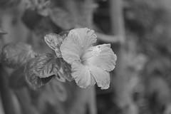 Hibiscus (Palenquero) Tags: leica ltm leicam8 nikkorpc85mmf2