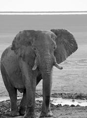 The elephant (hannesgjetmundsen) Tags: africa bw elephant animal blackwhite namibia etosha wildllife onguma