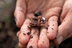 ensatina (USFWS Pacific) Tags: amphibians ocnwrc