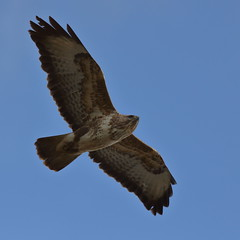 Buzzard over the hide (Robin M Morrison) Tags: somerset hide buzzard avalon rspb somersetlevels rspbhamwall