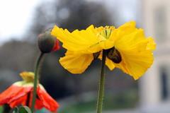 poppies (overthemoon) Tags: flowers red yellow fleurs schweiz switzerland three suisse lausanne poppies svizzera vaud coquelicots romandie