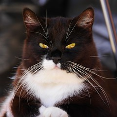 """The """"prefer to be in the sun-room kitty""""... (vanstaffs) Tags: t tuxedocat tux tutu tusse tussi tuzz tuxedogirl myprettytuxedogirl tuzz"""