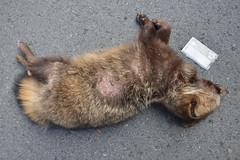Japanese raccoon dog roadkill--03-(ASO)76-20160306-150255__ (HYLA 2009) Tags: taiwan yhhsu katechen kyushu japan  e{  aso roadkill  kurabaru kumamotoken     wildlife mammal  nyctereutesprocyonoides