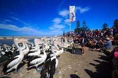 LR-160316-037.jpg (Finert) Tags: theentrance friendlyflickr pelicanfeeding 160316