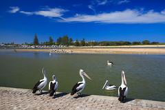 LR-160316-018.jpg (Finert) Tags: theentrance friendlyflickr pelicanfeeding 160316