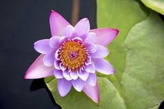 Pink-purple water lily (elinay76) Tags: flower macro israel telaviv pond waterlily pinkflower pinkwaterlily sarona
