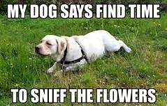 Gracie is right about this. (walneylad) Tags: dog pet cute puppy spring gracie lab labrador canine april labradorretriever wisdom goodadvice wordstoliveby
