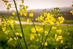 Springtime (jochenlorenz_photografic) Tags: flowers light sunset nature fly spring sonnenuntergang sundown outdoor natur blumen shining springtime frhling gegenlicht