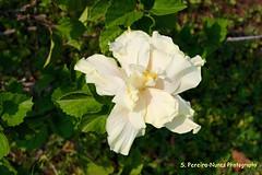 Clear yellow Hibiscus, El Salvador (ssspnnn) Tags: hibiscus hibisco elsalvador malvaceae texaco panamericana rosasinensis clavel elcongo canoneos70d snunes spnunes spereiranunesnunes