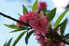 Blossom, Beijing, in Beihai Park (NovemberAlex) Tags: china flowers colour blossom bokeh beijing flowercloseup