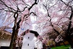 (Clonedbird  & Iris ) Tags: japan spring nikon kyoto   sakura     2016   kansi      d810