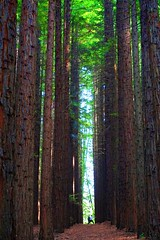Dance at Sequoia Forest (PsJeremy) Tags: trees forest dance redwood warburton majestictrees