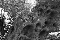Ulivo (rosaria.fratti) Tags: nature blackwhite natura olivo