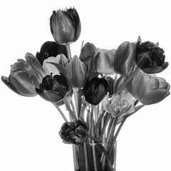 Tulpenstrau BW (efgepe) Tags: flowers bw macro square blackwhite tulips pflanzen sigma blumen sw nik makro blitz schwarzweiss metz tulpen sigma70mm sigma70mm28dgmacro silverefexpro