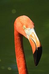 Fiona Flamingo (Brian 104) Tags: orange bird flamingo beak