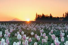 sunup! (Ben McLeod) Tags: flowers sun sunrise dawn tulips farm mthood woodenshoetulipfarm