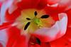 Estambres y pistilos (Julio Millán) Tags: flores macro tulipán gineceo pistilo estambre androceo