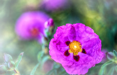 sweet garden (frederic.gombert) Tags: pink flowers light sun sunlight plant flower color colors yellow garden nikon bokeh 105 greatphotographers