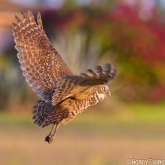 Burrowing Owl (), Florida (NatureMirror) Tags: florida burrowingowl capecoral