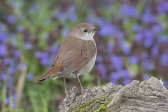 Nightingale (disambiguation). (icemelter4) Tags: west sussex singing nightingale disambiguation