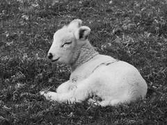 Exmoor Lamb (heathernewman) Tags: uk blackandwhite grass animal sheep somerset lamb farmanimal exmoor babyanimal exmoornationalpark southwestengland exmoorhorn