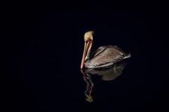 Out of the Darkness (jeff_a_goldberg) Tags: night mexico pelican bajacalifornia baja bajacaliforniasur mx brownpelican seabird seaofcortez gulfofcalifornia pelecanusoccidentalis nationalgeographicexpeditions islasanfrancisco nationalgeographicseabird