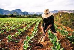 #Guajiro Natural our tour in #Viales #Cuba  #Tabacco Farm #Cohiba CasaVinales.jimdo.com Casa Renga y Julia  (Casa Particular Vinales) Tags: cuba tabacco cohiba guajiro viales