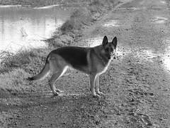 Ready to take a plunge (seikinsou) Tags: ireland winter bw dog tree water puddle pond flood path germanshepherd alsatian westmeath