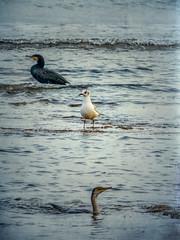 am, am. Escenas de pesca en la Marina Alta. /// Yum-yum. Fishing scenes at Marina Alta (Alicante, Spain) (jmgabi) Tags: espaa europa aves alicante es denia lesrotes dnia comunidadvalenciana costarocosa avespescando