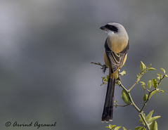 Long-tailed shrike -IMG_8038 (arvind agrawal) Tags: india bird birds wildlife rajasthan shrike bharatpur lanius laniusschach longtailedshrike indianwildlife canon400mmf56 bharatpurbirdsanctuary canon14xiii canon1dx