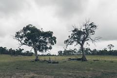 Burned Brothers (Bernhard.Fritz) Tags: tree clouds landscape fire bush wiese wolken australia australien landschaft baum