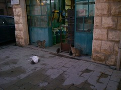 Le Noël des chats pauvres. (Gilbert-Noël Sfeir Mont-Liban) Tags: street lebanon cats cat chats chat strada poor rue gatto gatti liban pauvre mountlebanon povero montliban kesserwan