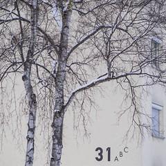 Numbered birch trees / Nummerierte Birken (schauplatz) Tags: schnee winter house tree window deutschland stuttgart fenster haus number baum birke birchtree spaziergang nummer