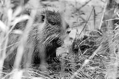 Beverrat (Geert Theunissen) Tags: rat maas nutria limburg niers coypu knaagdier bever riverrat gennep beverrat myocastorcoypus middelaar milsbeek genneperhuis