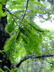Coniferous Leaves (failing_angel) Tags: florida wetland esterobay fortmyers fortmyer sixmilecypressslough sixmileslough 240515 sixmilecypresssloughpreserve linearecosystem naturaldrainageway