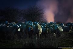 Hell's troop. (jongoikoh) Tags: night noche darkness you watching flock hell animales creatures pyrenees criaturas jaca pirineos animaliak rebaño pirinioak sabiñanigo serrablo ardiak acecho