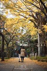 Tokyo Life_Autumn_85_2014 (Pop_narute) Tags: autumn tree leaves yellow japan tokyo ginkgo shrine hikawa