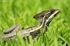 Brown Basilisk (Basiliscus vittatus) (Jeffrey Jang Photography) Tags: jeff nature mexico nikon reptile wildlife jeffrey rivieramaya mx jang naturephotography d300 herptile wildlifephotography brownbasilisk basiliscusvittatus stripedbasilisk jeffreyjangphotography h003302012