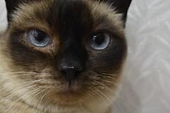 Rigor (alexwinger) Tags: blue look cat eyes nikon siamese d5200