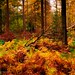 Autumn colored ferns, The Netherlands