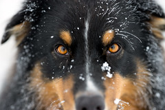 Soulmate (der_peste (busy)) Tags: winter dog snow colors animal closeup eyes focus bokeh canine aussie australianshepherd walimex samyang walimexpro samyang1352 walimexpro1352