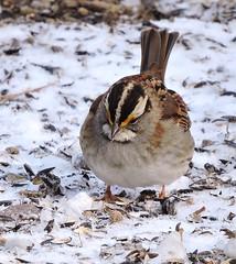 White-throated Sparrow_N8992 (Henryr10) Tags: bird cincinnati sparrow cnc avian whitethroatedsparrow zonotrichiaalbicollis naturecenter zonotrichia cincinnatinaturecenter albicollis rowewoods perintownoh powelcrosleylake