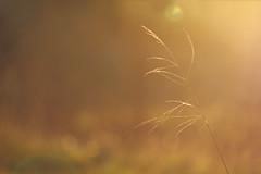 Winter sun (Pog's pix) Tags: winter sun plant nature grass sunshine pretty natural bokeh silk sunny ethereal flare serene colourful delicate minimalist cobwebs gentle dunlop ayrshire stewarton scotlandg eastayrshire dunlopmillenniumnaturepark